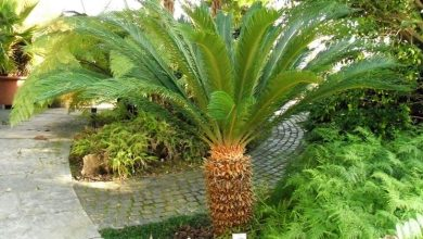 Photo of The Cycas