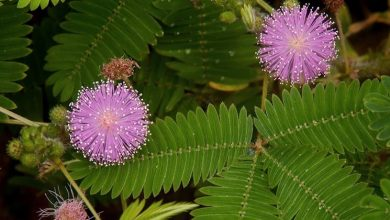Photo of Mimosa pudica care