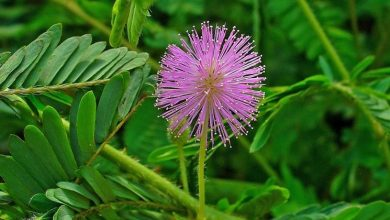 Photo of Mimosa pudica