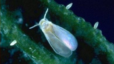 Photo of Como remover Whitefly