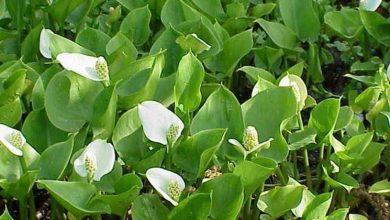 Photo of Plantas marginais
