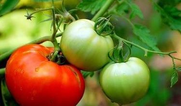 Photo of Tomate