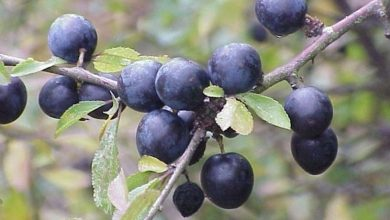Photo of Blackthorn