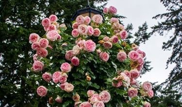 Photo of Hedge roses