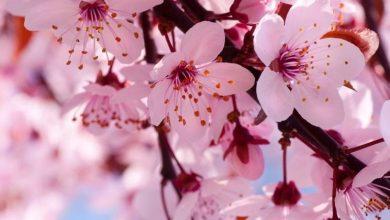 Photo of Significado flores de cerejeira