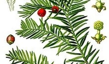 Photo of Taxus baccata